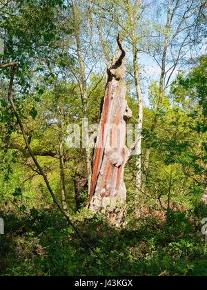 Un vieux chêne, dépouillé de son écorce est situé dans une clairière en plein soleil Banque D'Images