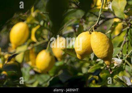 Lemon Tree en Deia, Majorque, Espagne Banque D'Images