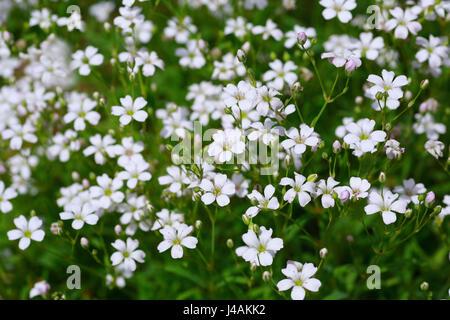 Plantes vivaces gypsophile Gypsophila elegans ou dans le jardin. Banque D'Images