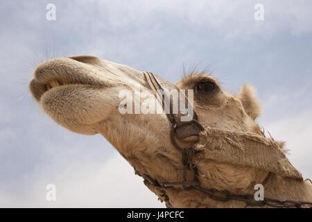 Chameau d'Arabie, le dromadaire, Camelus dromedarius, Egypte, Dahschur, portrait, Banque D'Images