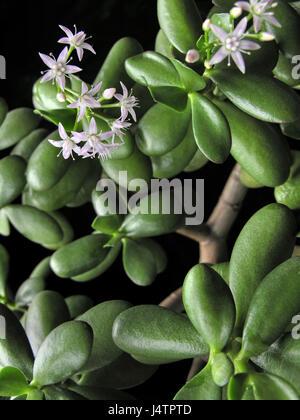 crassula ovata avec fleurs connu aussi sous le nom de jade plant ou d 39 arbre d 39 argent l 39 amiti. Black Bedroom Furniture Sets. Home Design Ideas