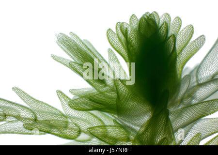 Vue microscopique de la mousse de tourbe (Sphagnum). L'éclairage à fond clair.