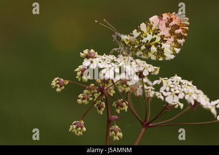 Papillon orange mâle-tip (appui sur cow parsley) Banque D'Images