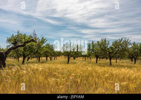 L'agriculture de Majorque avec des arbres et des céréales cultivées, Majorque, Îles Baléares, Espagne Banque D'Images