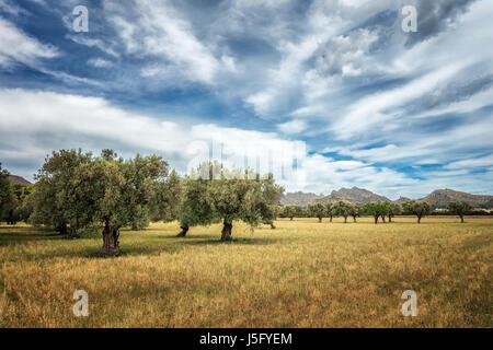 De vieux oliviers dans un champ dans le nord de Majorque avec un décor de montagnes et de superbes sky, Majorque, Banque D'Images