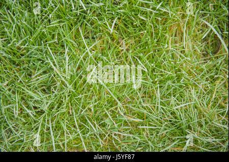 Brins d'herbe sur la pelouse au-dessus du plan