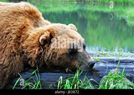 Sommeil de l'ours grizzli près d'un étang. Banque D'Images