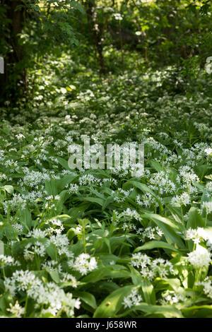 Bärlauch, Bär-Lauch Bärlauchbestand, Bestand, Allium ursinum, Ramsons, bois, l'Ail, Wood-Garlic, L'ail des ours, Banque D'Images