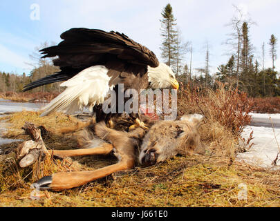 Un aigle à tête de balayage d'un chevreuil mort durant l'hiver dans le Wisconsin. Banque D'Images