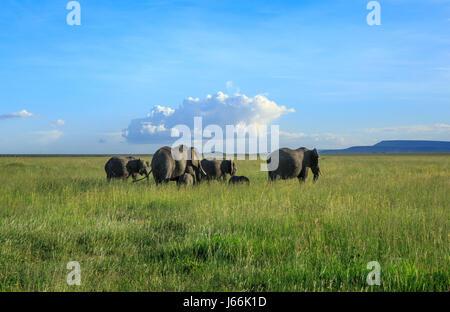 Un éléphant d'Afrique matriarche entraîne ses troupeaux dans la savane à la recherche de nourriture ou d'eau dans Banque D'Images