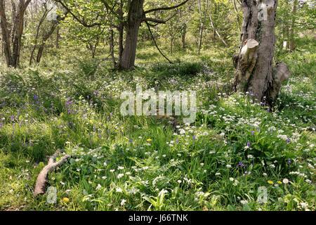 Un bois avec Glade et jacinthes sauvages dans l'ail à fleurs soleil pommelé Banque D'Images