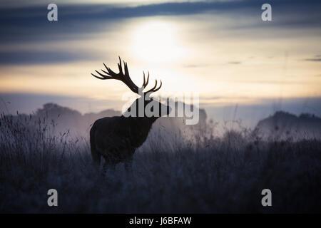 Stag at dawn à Richmond Deer Park Banque D'Images