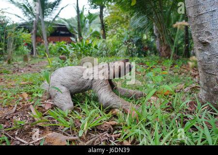 Un trois-toed sloth de ramper sur le sol dans un jardin près d'une maison, Panama, Amérique Centrale Banque D'Images