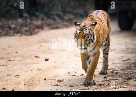 Gros plans de tigre Banque D'Images