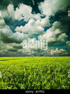Champ de mil. Green Field, film retro droit d'effet, de l'agriculture paysage, domaine de mil sur un fond de ciel Banque D'Images