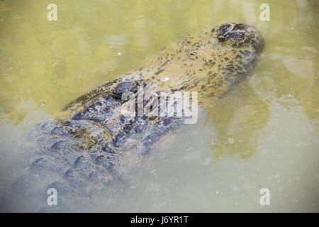 Des crocodiles dans l'eau d'un étang de Hamat Gader, Israël . Banque D'Images