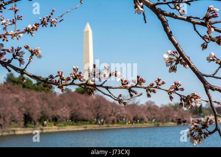 Washington au début du mois de mars - beau temps, fleurs de magnolia, vue sur la ville. Le Washington Monument est visible
