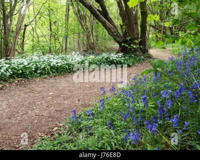 Chemin bordé de jacinthes et ail sauvage des fleurs au printemps dans les bois près de Gorge Nidd North Yorkshire Banque D'Images