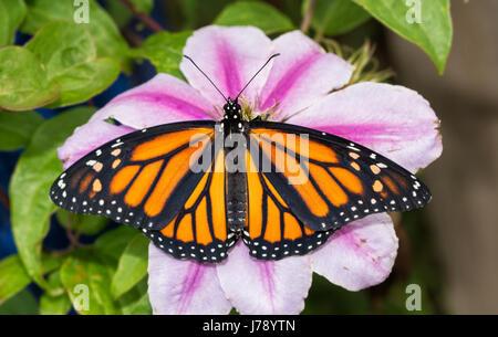 Beau papillon sur une fleur de Clématite rose, vue du dessus Banque D'Images