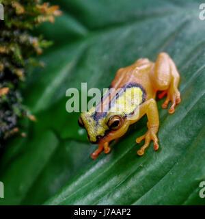 Un Colombien Golden Poison Dart Frog. Banque D'Images
