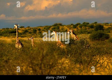 Vue imprenable sur un voyage de girafes alors que sur Safari Banque D'Images