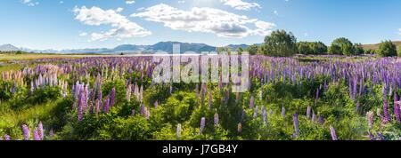 À grandes feuilles mauve lupins (Lupinus polyphyllus), Lake Tekapo en face de Alpes du Sud, Canterbury, île du Sud, Banque D'Images