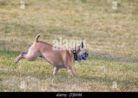 Bugg dog (croisement entre Boston Terrier Pug) et l'exécution sans laisse libre dans la zone de city park Banque D'Images