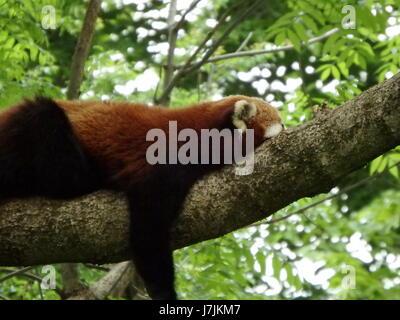 L'ours, le panda rouge (Ailurus fulgens) Banque D'Images