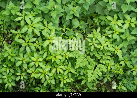 L'Impatiens glandulifera balsam (indien) la croissance végétative. Croissance des plantes envahissantes sur la réserve naturelle, en famille Balsaminaceae