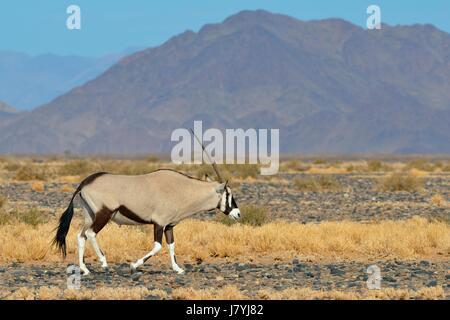 Homme gemsbok (Oryx gazella) marche, Namib-Naukluft National Park, Namibie, Afrique