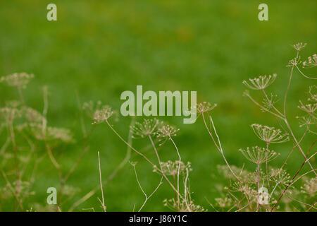 Angelica archangelica plante sèche Banque D'Images