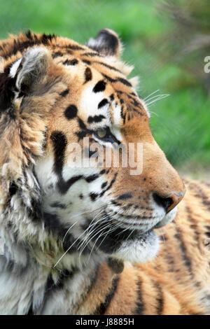 Un tigre de Sibérie ou tigre de l'amour, Panthera tigris altaica Banque D'Images