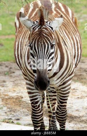 Le zèbre de Grant, Equus quagga Banque D'Images