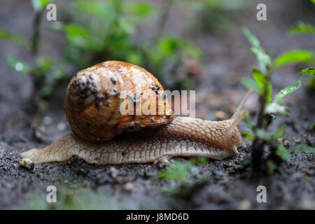 Helix pomatia, noms communs l'escargot de bourgogne, escargots, escargot romain Banque D'Images