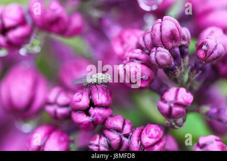 Syringa vulgaris, variétal. Festival lilas de Warkworth. Gros plan du lilas pourpre améthyste boutons de fleurs, après la pluie, avec une petite mouche grise dans le cadre.