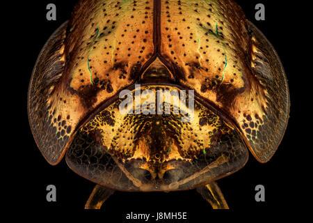 Vue frontale d'un coléoptère tortue d'or.La tortue d'or est un insecte coléoptère de la famille des céréales, originaire de la région des Amériques