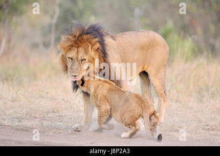 Lion (Panthera leo) cub greeting son père, le Parc National du Serengeti, Tanzanie. Banque D'Images