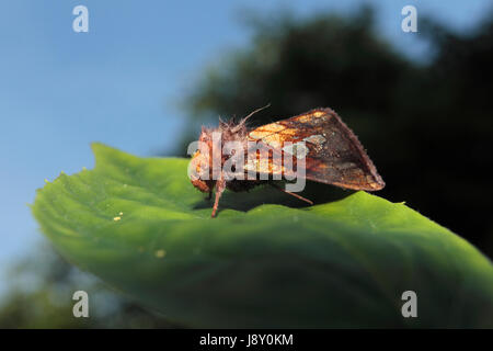 Or Spot Moth Banque D'Images