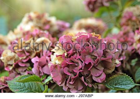 Fleurs d'hortensias à l'automne, faible profondeur de champ. Banque D'Images