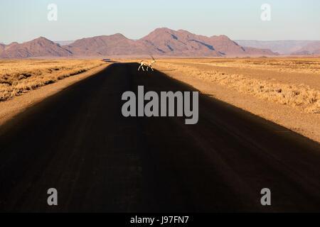 Oryx crossing route pavée à Sossusvlei au coucher du soleil, la Namibie.