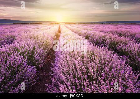 Lever de soleil sur champ de lavande en Bulgarie Banque D'Images