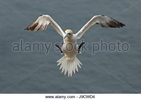 Fou de Bassan en vol au-dessus de la falaise de Troup Head, en Écosse.