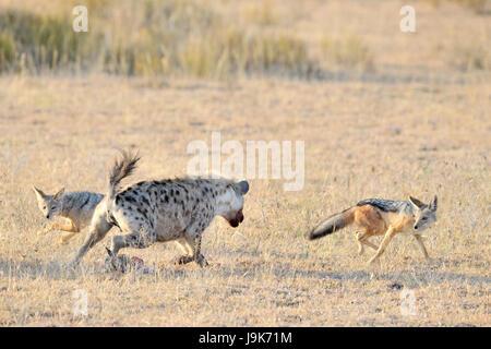 L'Hyène tachetée (Crocuta crocuta) et le chacal (Canis mesomelas) luttant pour la Gazelle de Thomson, le Parc National Banque D'Images