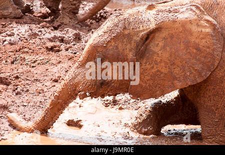 Bébé éléphant jouant dans la boue Banque D'Images