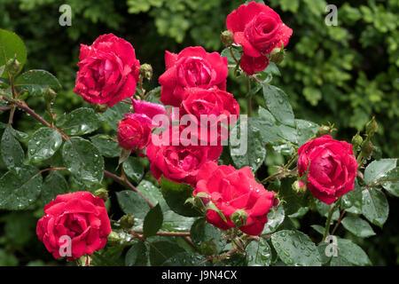Les gouttes de pluie sur les Roses Banque D'Images