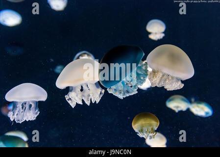 Jelly Fish à fond bleu-3 Banque D'Images