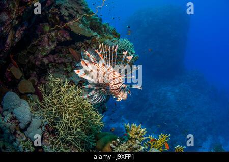 Poisson lion Pterois volitans commun []. L'Egypte, Mer Rouge. Banque D'Images