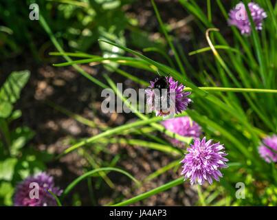 Close up of red tailed bumblebee, Bombus lapidarius, ciboulette, fleur pourpre sur Allium schoenoprasum, avec l'arrière Banque D'Images