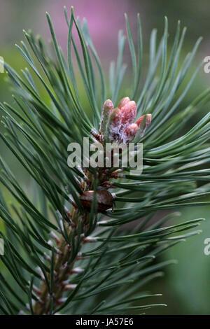 Arbre, bois, des autochtones, des pins, des essences de bois, de la santé, seul, relaxation, émotions, Banque D'Images