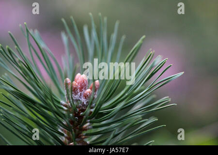 pin Pinus Banque D'Images